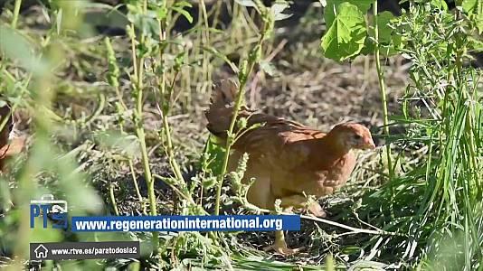 La agricultura regenerativa con los pollos como motor