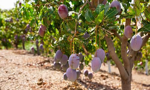 El cultivo de las frutas tropicales en San Andrés, Tenerife