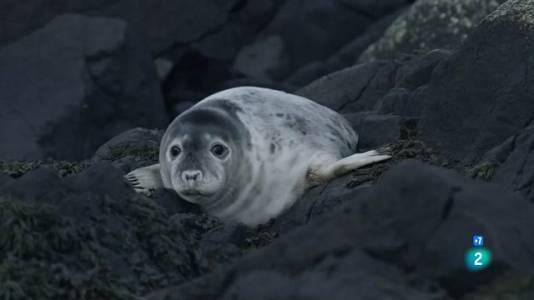 Foques grises. Un viatge de supervivència