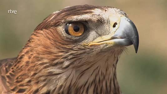 Fauna amenazada: Águila perdicera