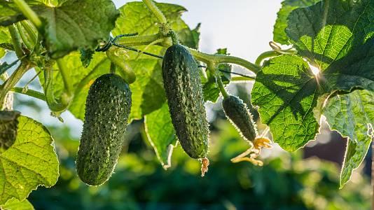 Al cultivo del pepino (y trucos para comerlos)