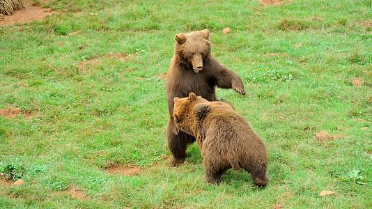 Estudiamos al oso pardo cantábrico en toda su esencia