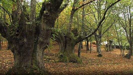 Castaño: bosque de madera