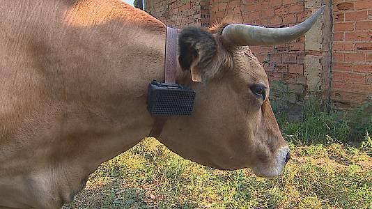 Un collar para proteger al ganado del ataque de los depredadores
