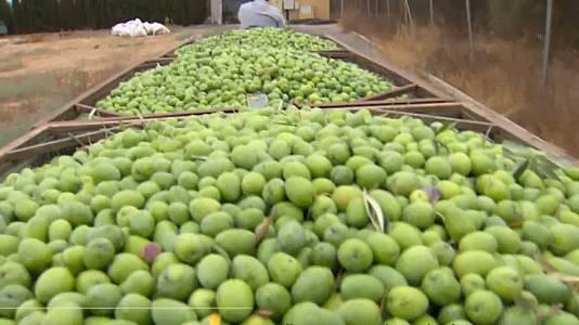 La cosecha de aceituna verde de mesa será algo más corta