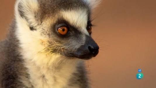 Madagascar salvatge: llegendes de l'illa dels lèmurs