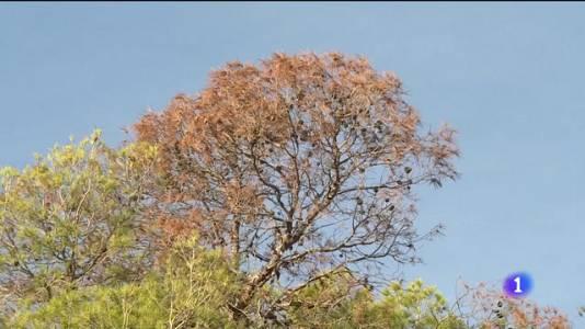 Els arbres del Castell de Bellver estan en perill