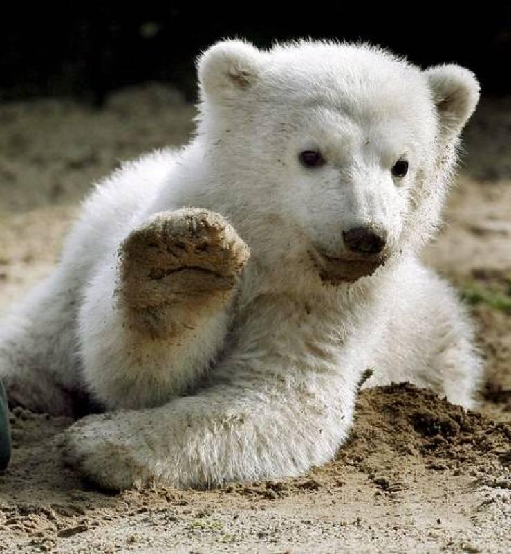 El oso polar Knut saltó a la fama hace cuatro años al ser criado con biberón en el parque zoológico de Berlín