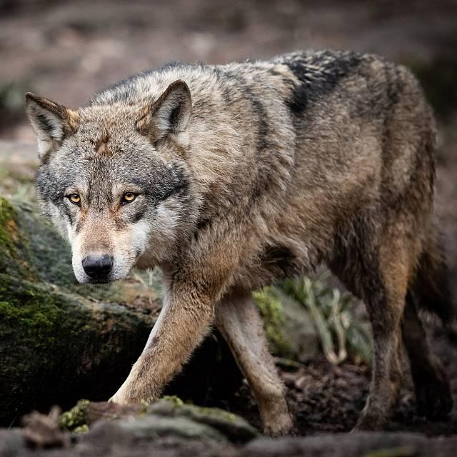 Caza si o caza no, el lobo protagonista