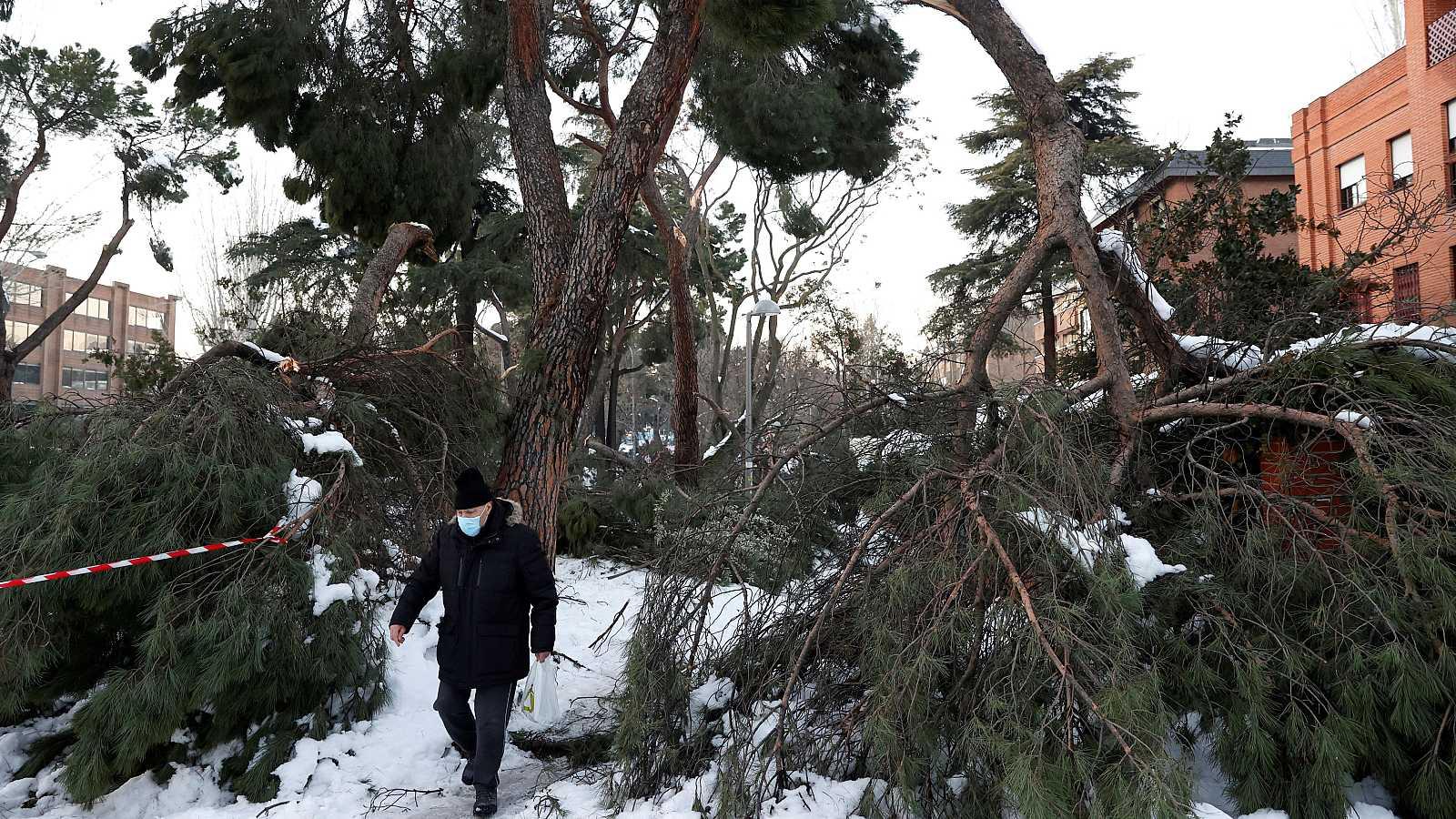 Un hombre camina junto a varios árboles caídos en la calle de Arturo Soria, en Madrid.