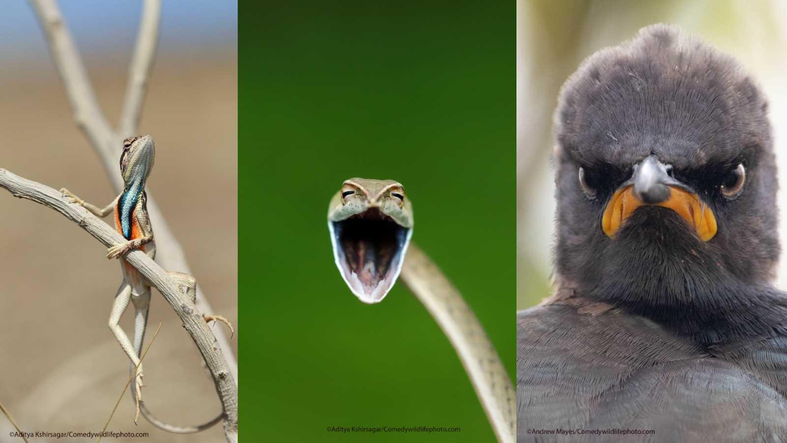 Tres fotografías: un lagarto posando en una rama, una serpiente sonriendo y un estornino disgustado