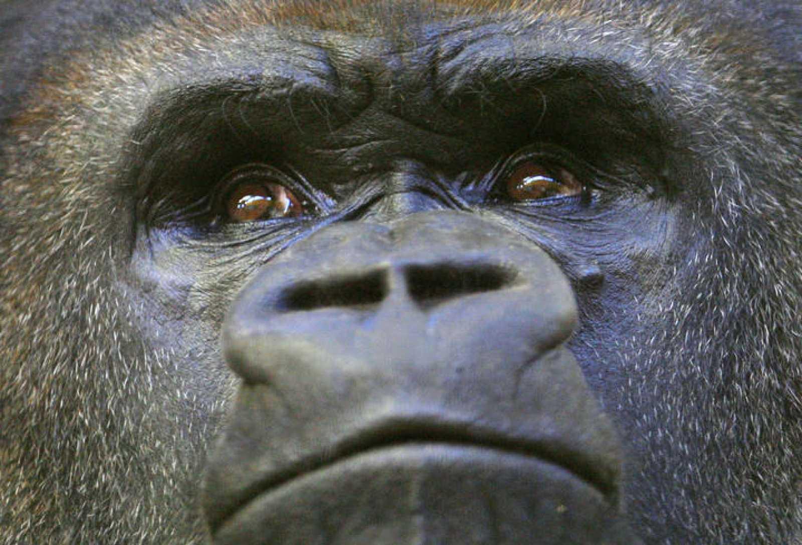 Los grandes simios, amenazados por la caza ilegal y la destrucción de sus hábitats.