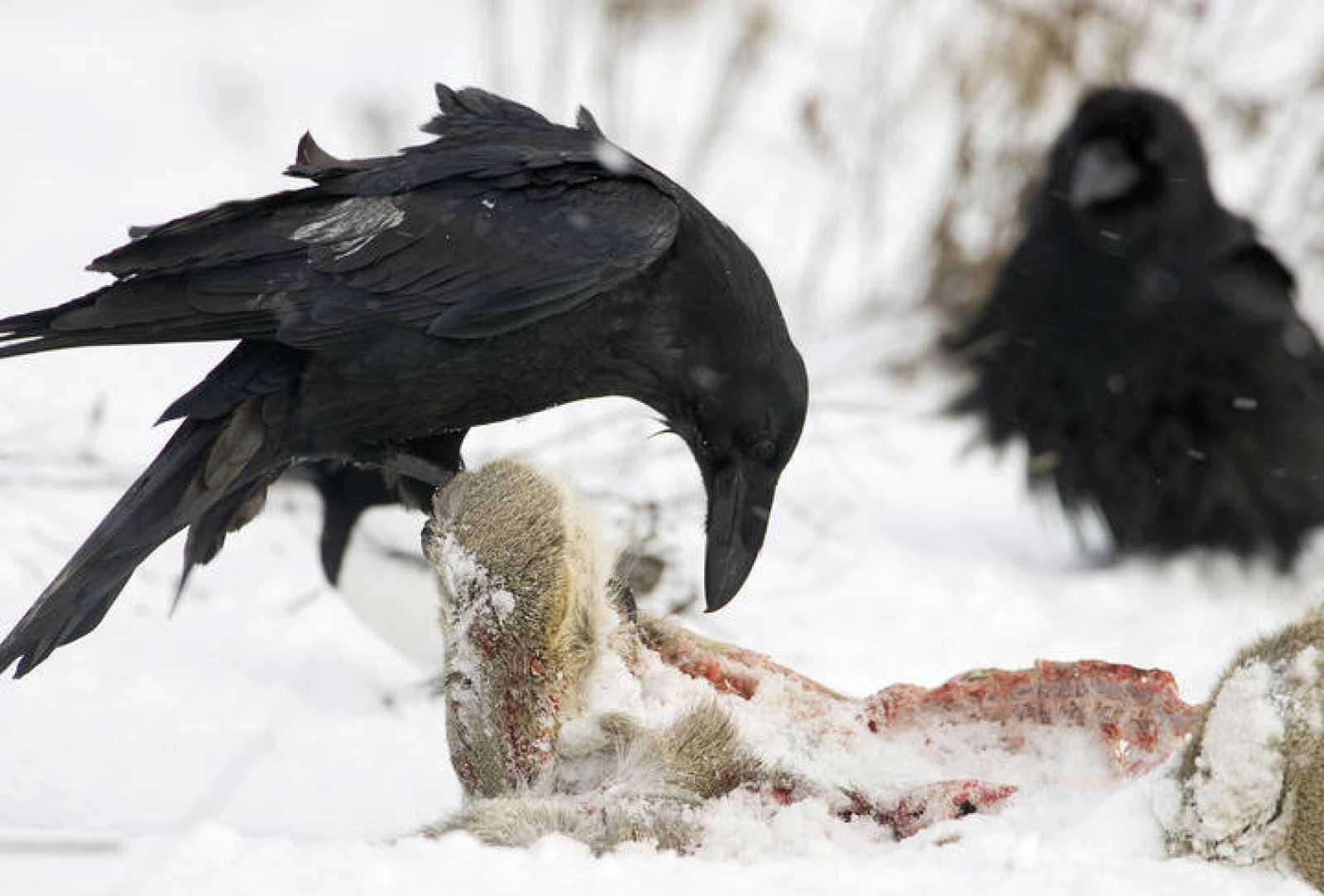 Cuervos comiéndose los restos de un animal muerto