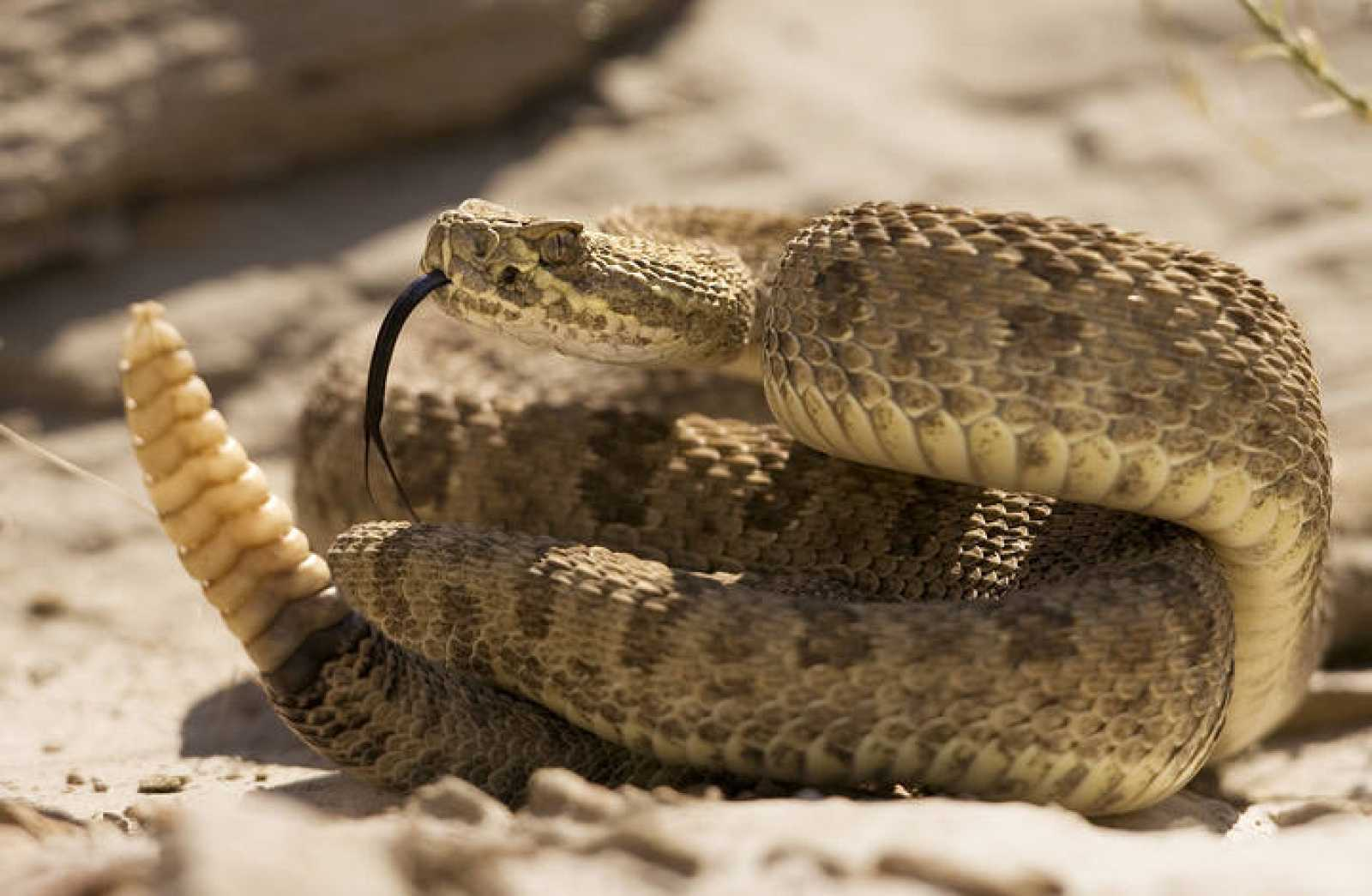 Prairie rattlesnake warns approaching hikers with rattle of his tail in Dinosaur Provincial Park, Alberta.
