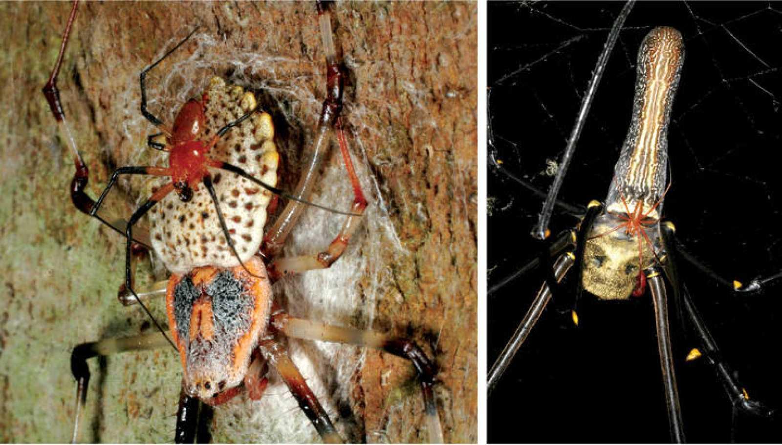 La nueva 'Nephila' habita en Madagascar y es la más grande de esta especie descubierta hasta ahora