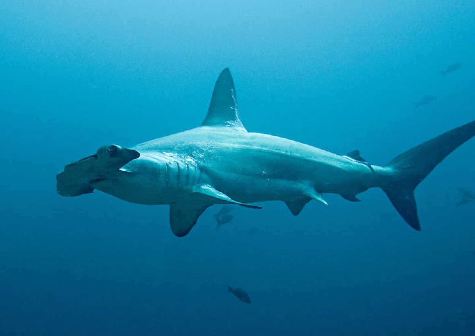 La cabeza del tiburón martillo le confiere una visión estereoscópica hacia delante y hacia atrás y una excelente percepción de las profundidades.