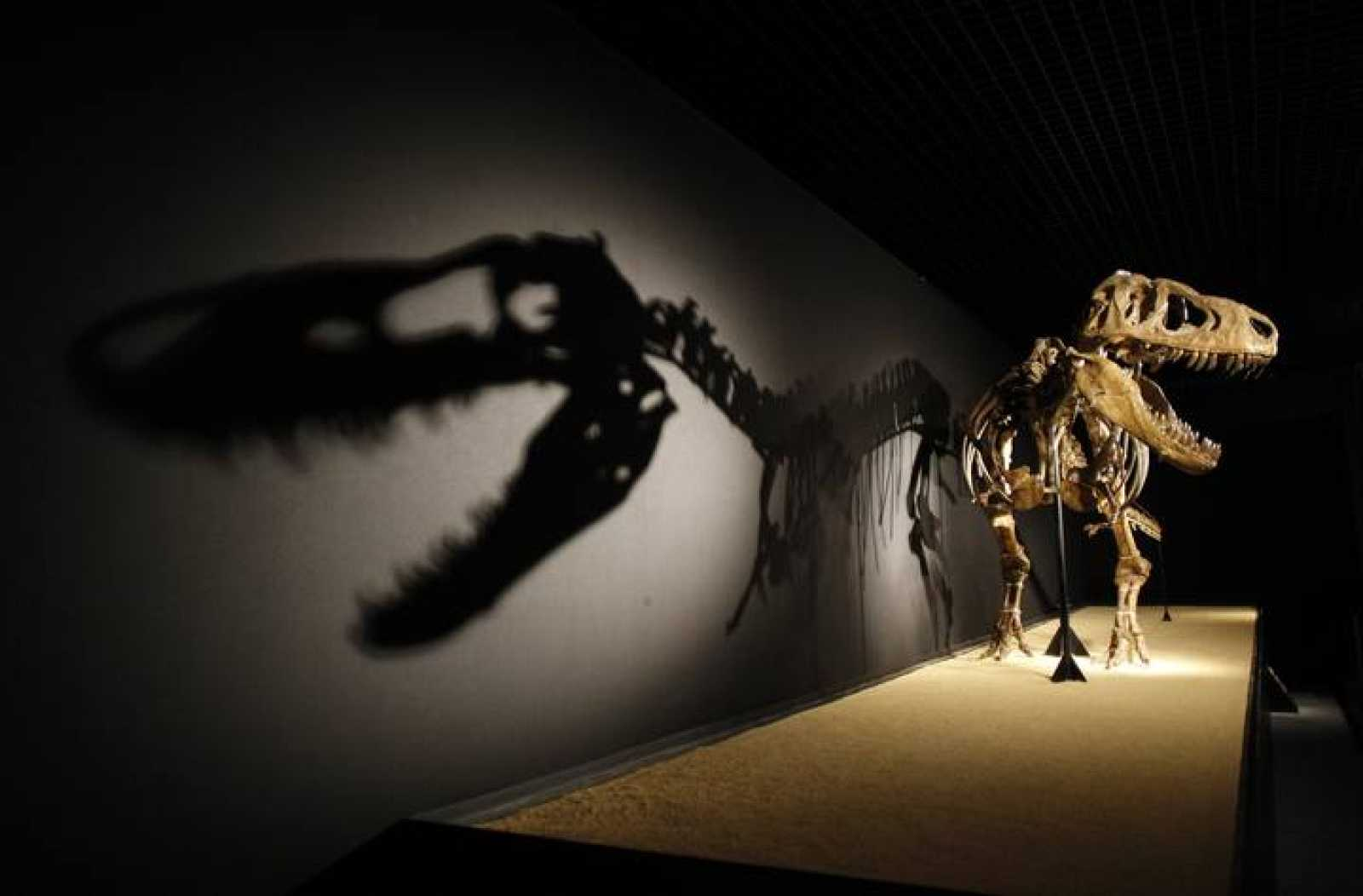 "A Tarbosaurus dinosaur skeleton is displayed during an exhibition ""Dinosaurs, treasures of Gobi desert"" at CosmoCaixa in Alcobendas"