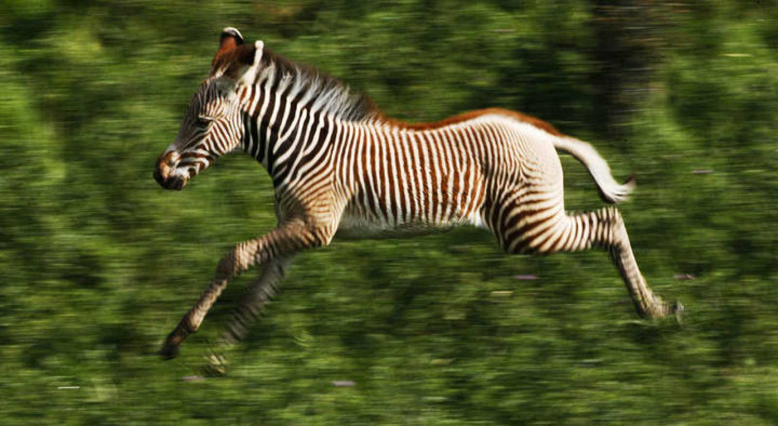 Una joven cebra corriendo en un parque nacional