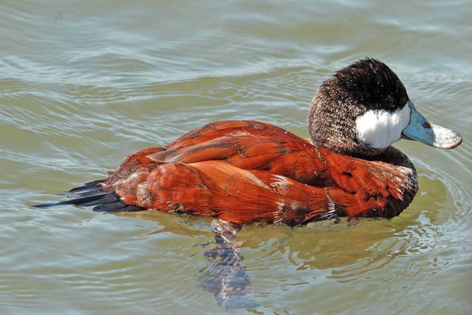 El pato zambullidor es una de las especies que más daño ha provocado en la fauna local