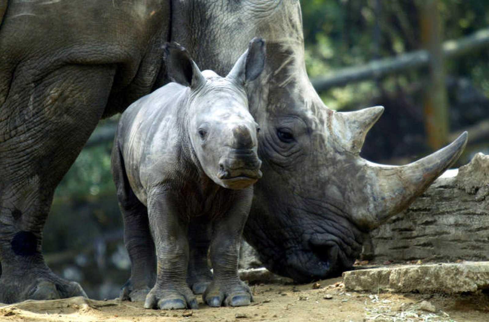 ¿Qué es la impotencia de cuerno de rinoceronte?