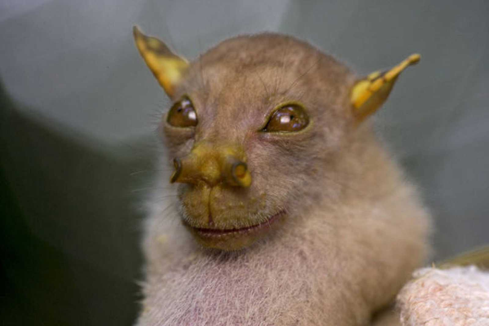 El nuevo murciélago de la fruta con doble trompa como nariz