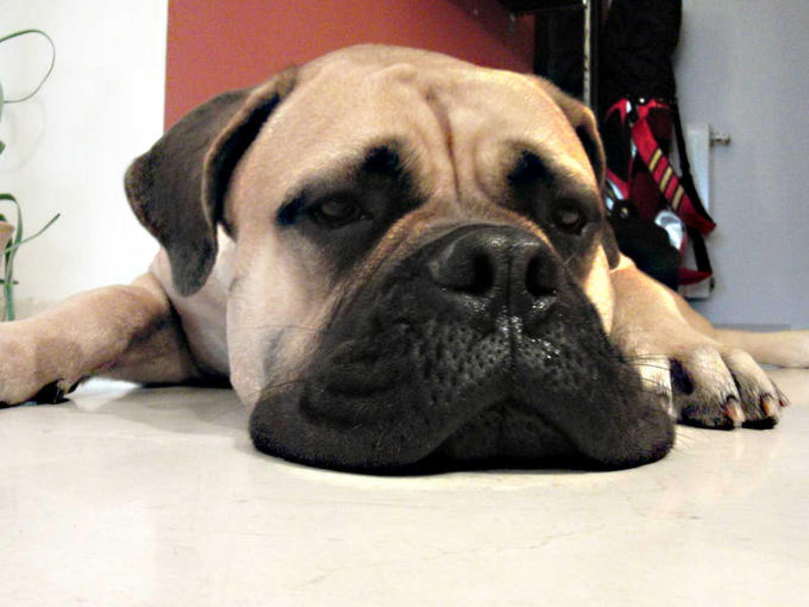Los perros ansiosos también son pesimistas