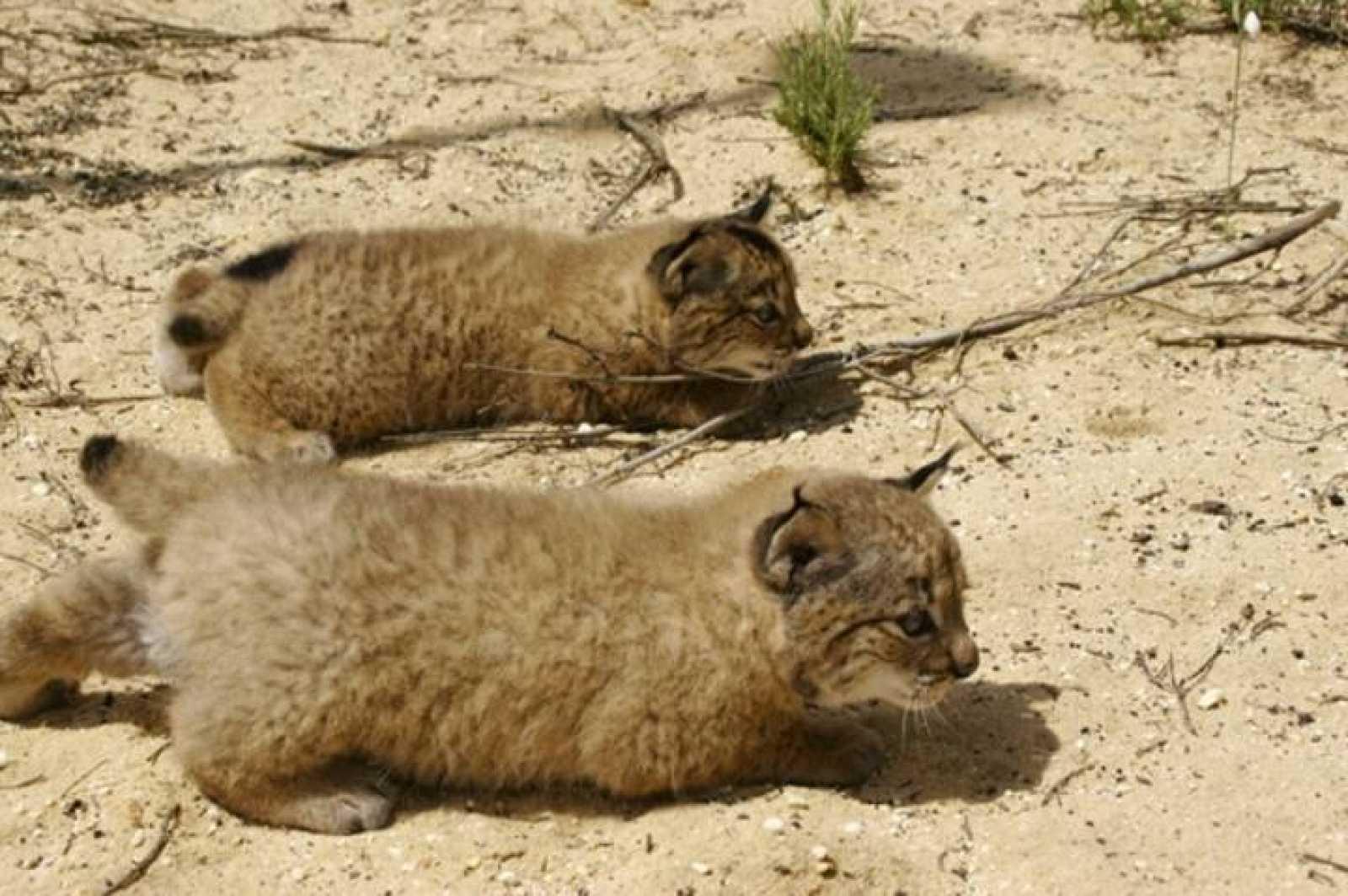Dos cachorros de lince ibérico esperan el momento de dar caza a una presa