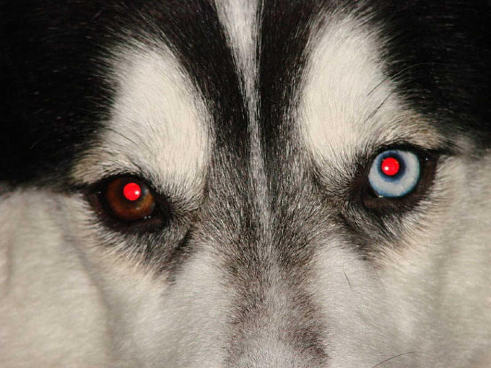 El color rojo de los ojos es el efecto del reflejo de la luz en los vasos sanguíneos que irrigan la retina.