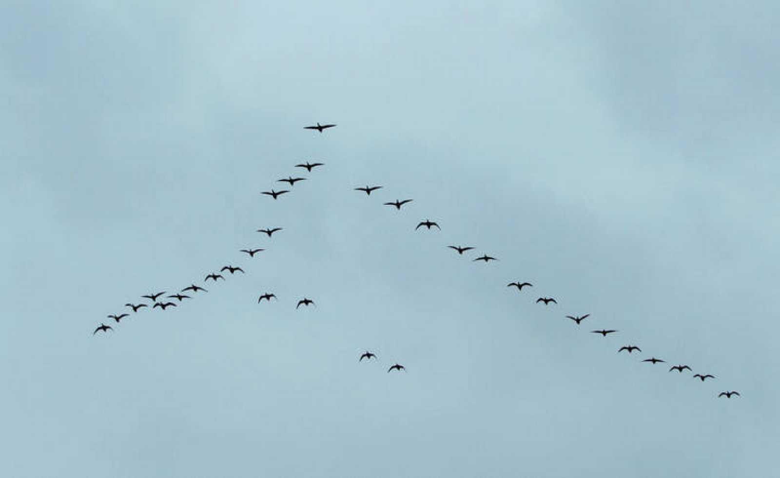 Una bandada de aves migratorias en formación de uve