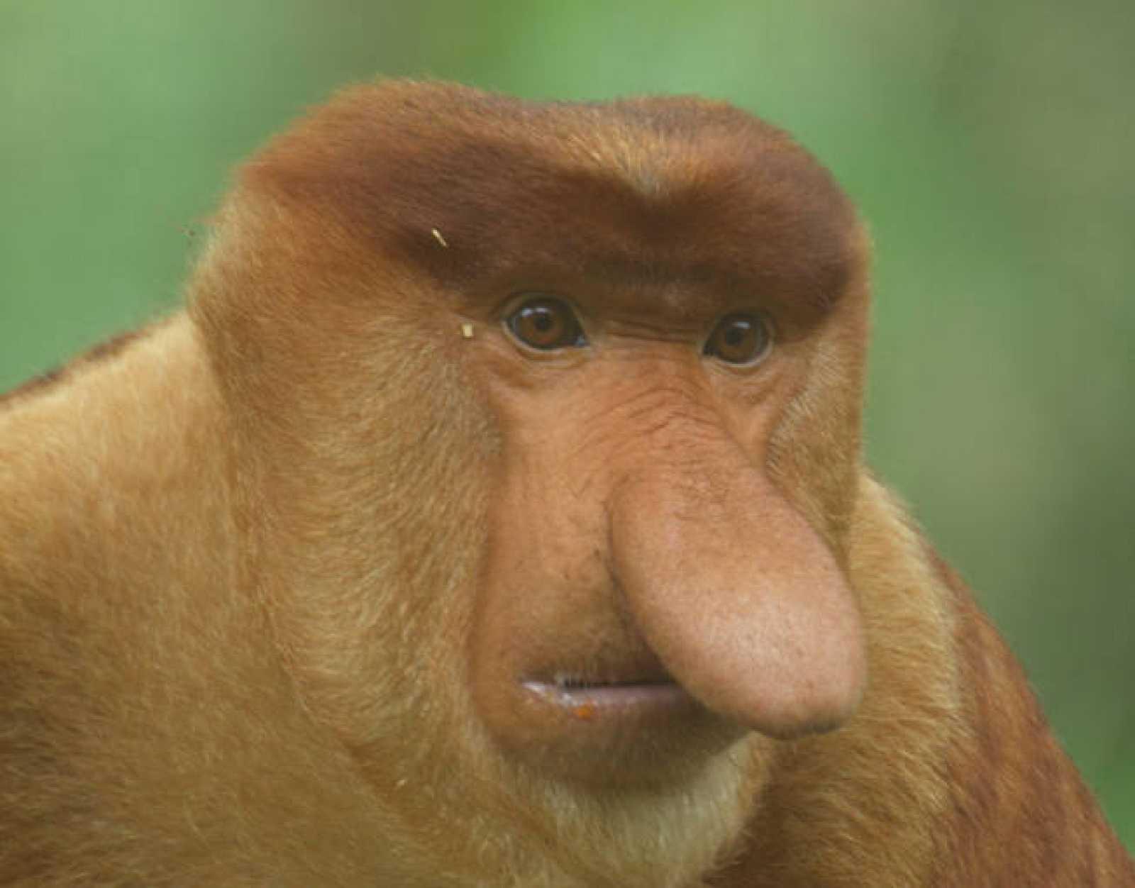 El mono narigudo, el primer primate que regurgita la comida como las vacas