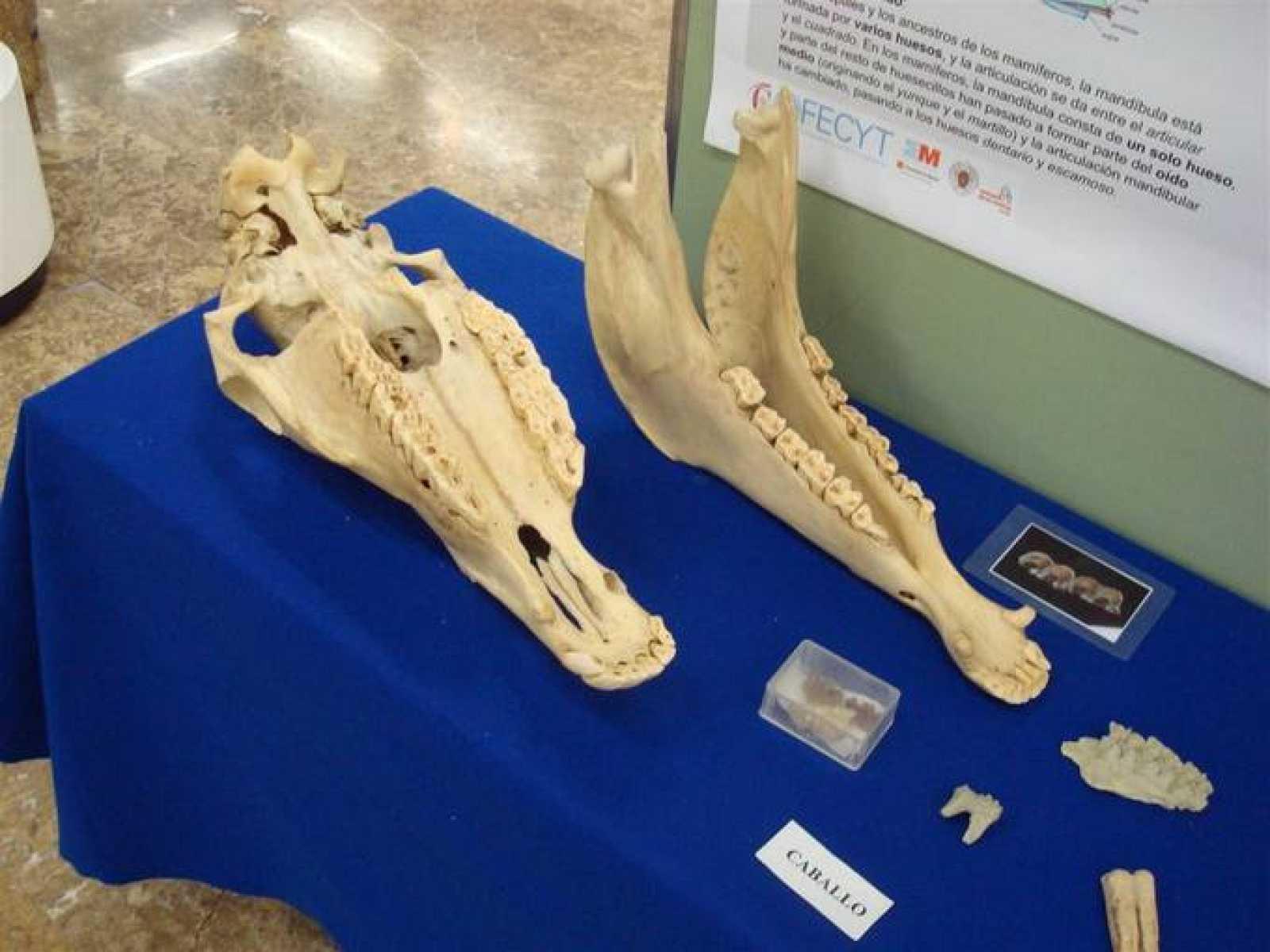 Restos de un caballo prehistórico que se puede ver en Natura