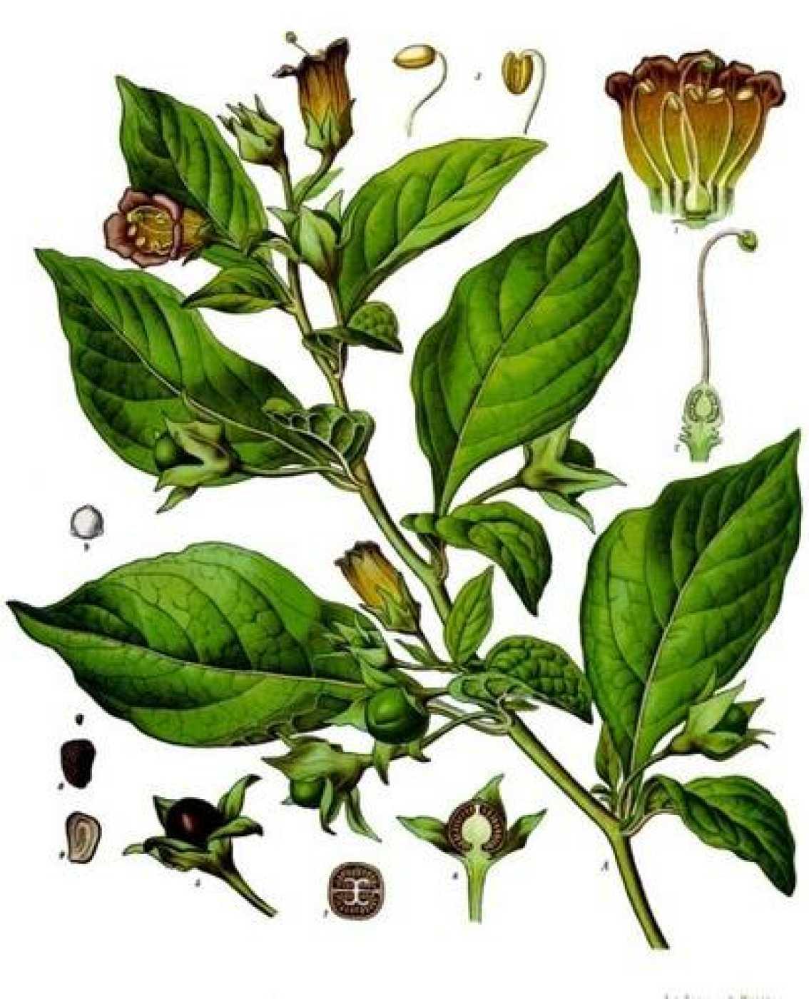 'Atropa belladonna', miembro de la familia Solanaceae.