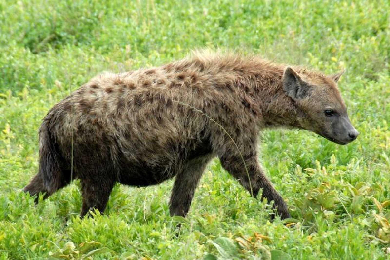 Las hienas saben contar hasta tres