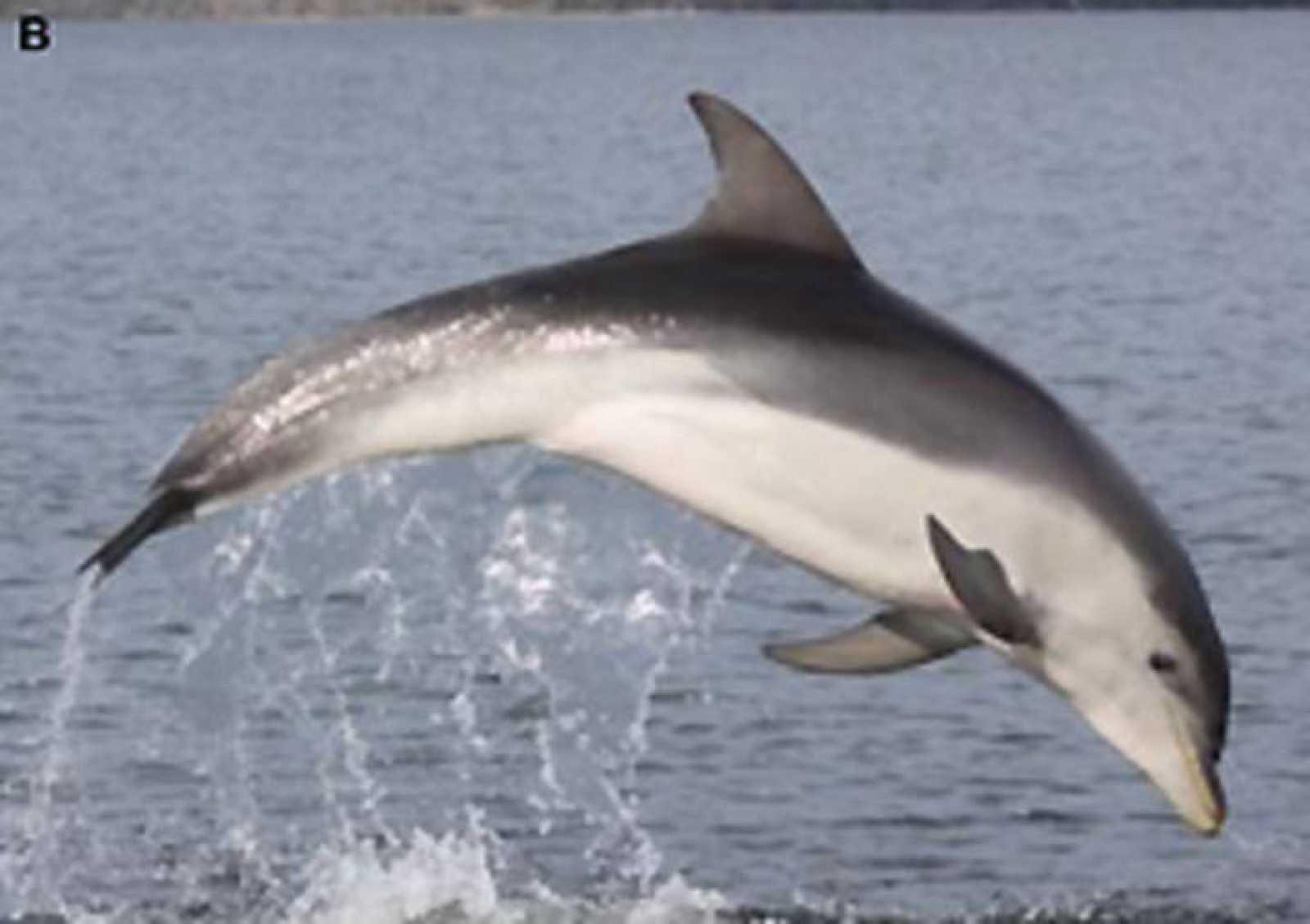 Descubren una nueva especie de delfín 'camuflada' en las aguas de Australia