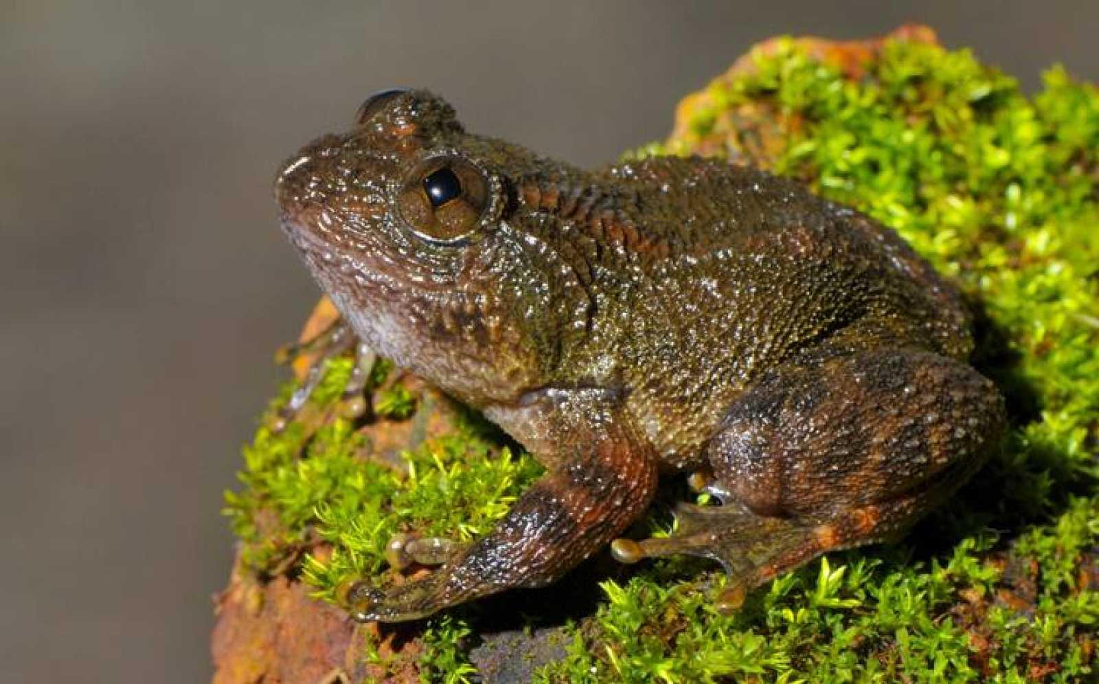 Hacía casi un siglo,91 años, que no se veía alguna de estas especies de ranas como el caso de la 'Nyctibatrachus danieli'