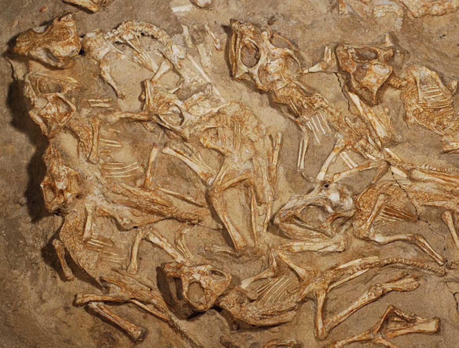 Descubren Un Nido Repleto De Fósiles De Dinosaurios Recién Nacidos Rtve Es