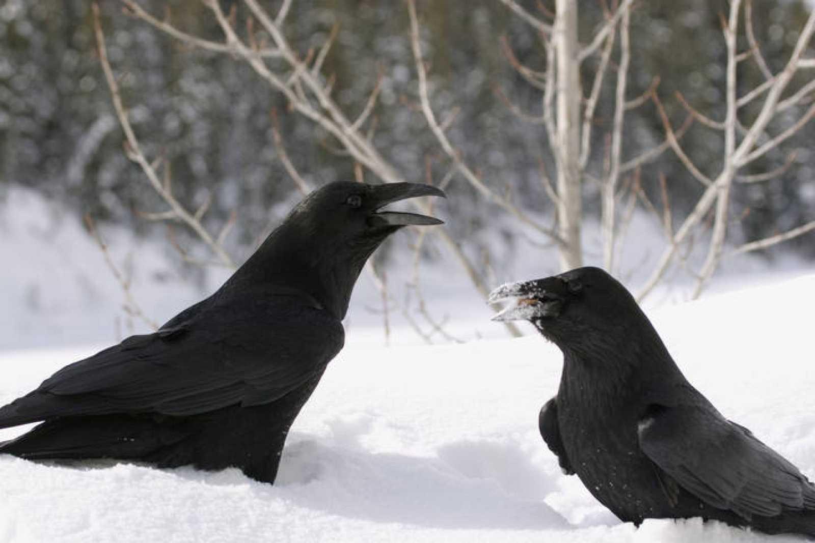 Los cuervos usan sus picos como si fuesen manos, para mostrar y ofrecer objetos, tales como musgo, piedras y ramas.