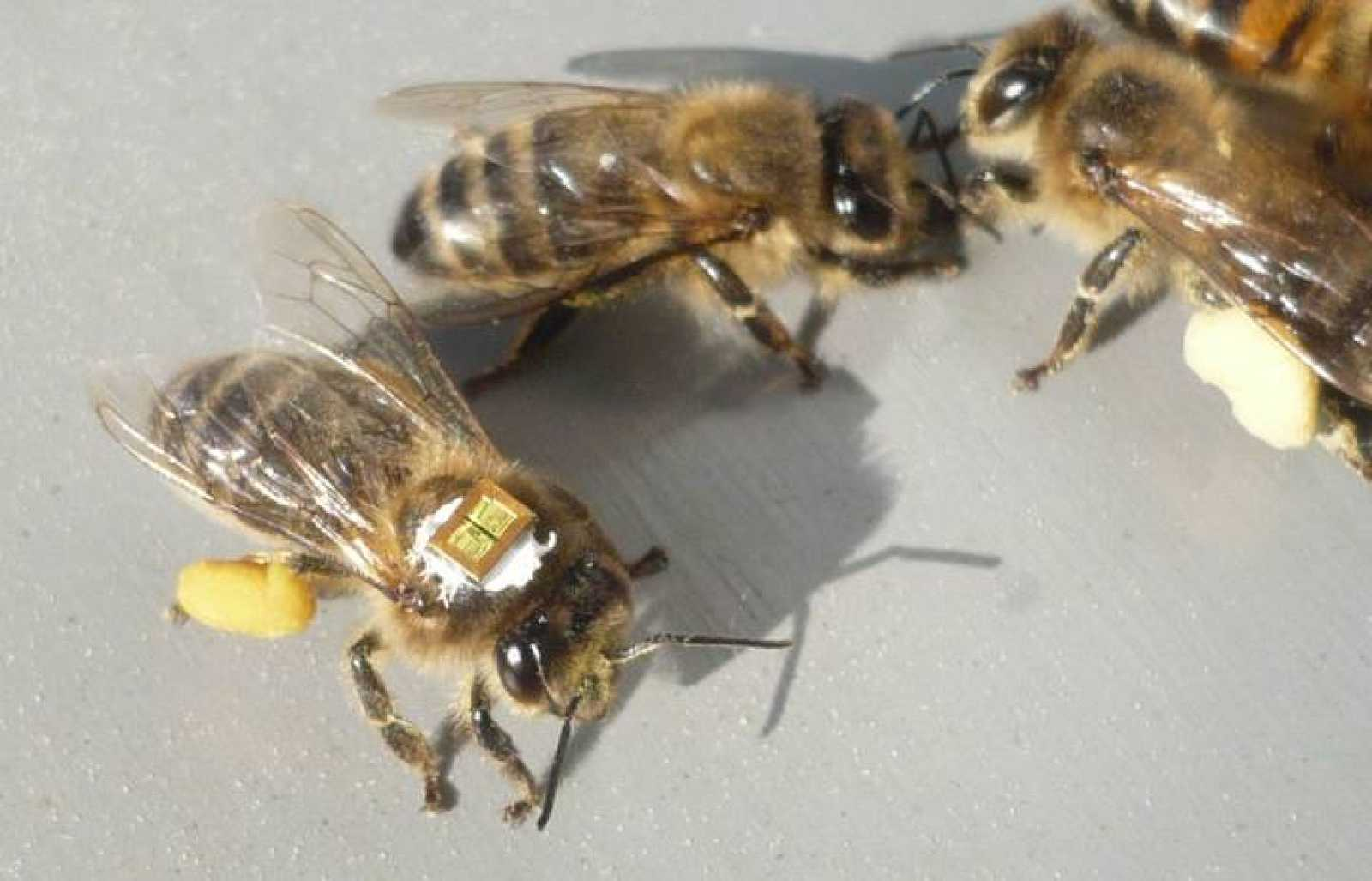 Los investigadores han incorporado microchips en el torax de las abejas para realizar el estudio