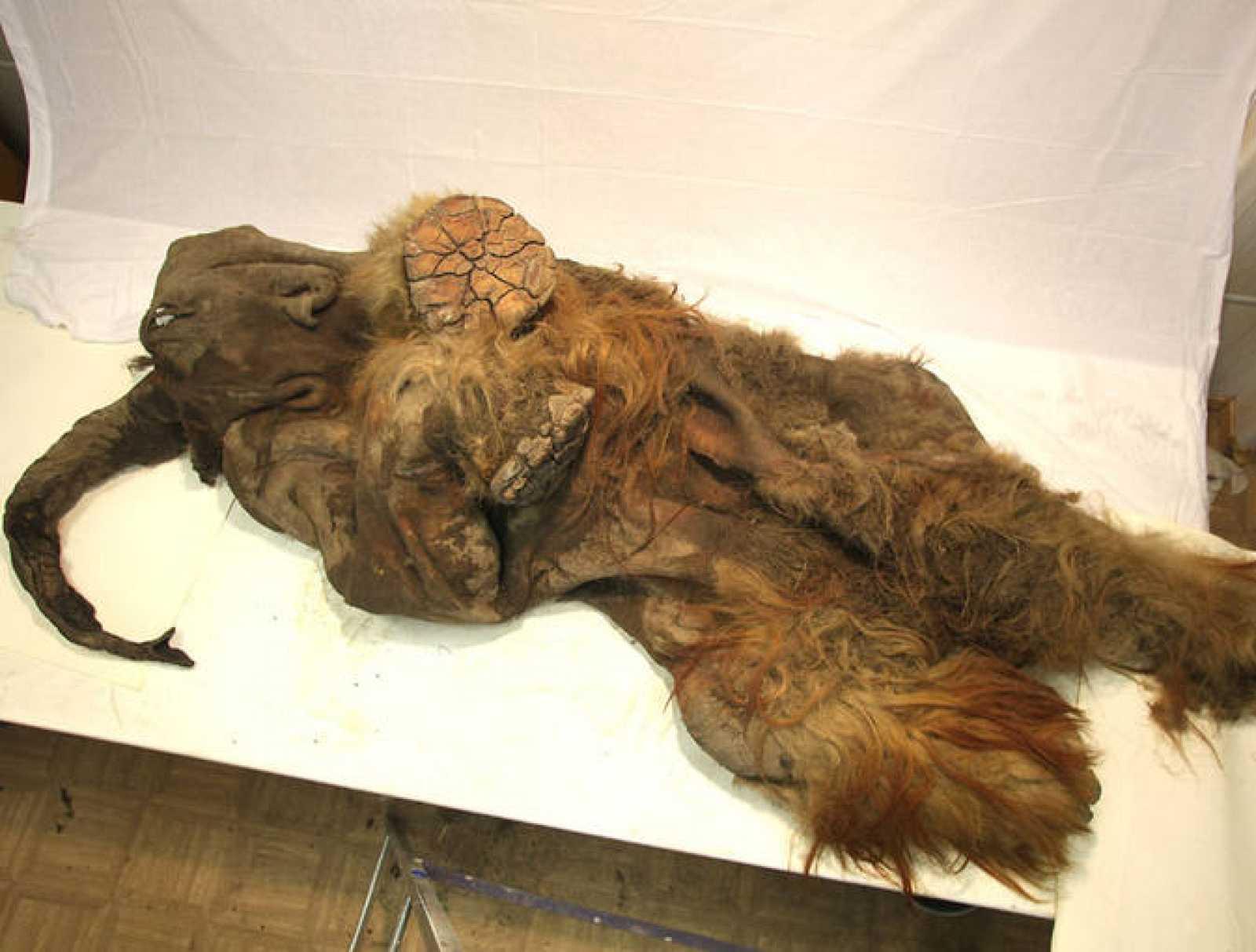 Resultado de imagen para mamut encontrado en siberia 2011