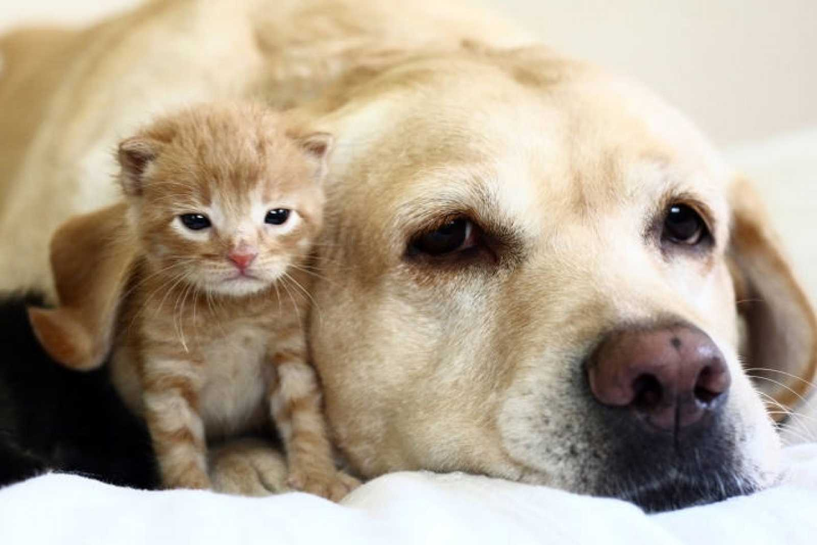 Un perro labrador con un gatito.