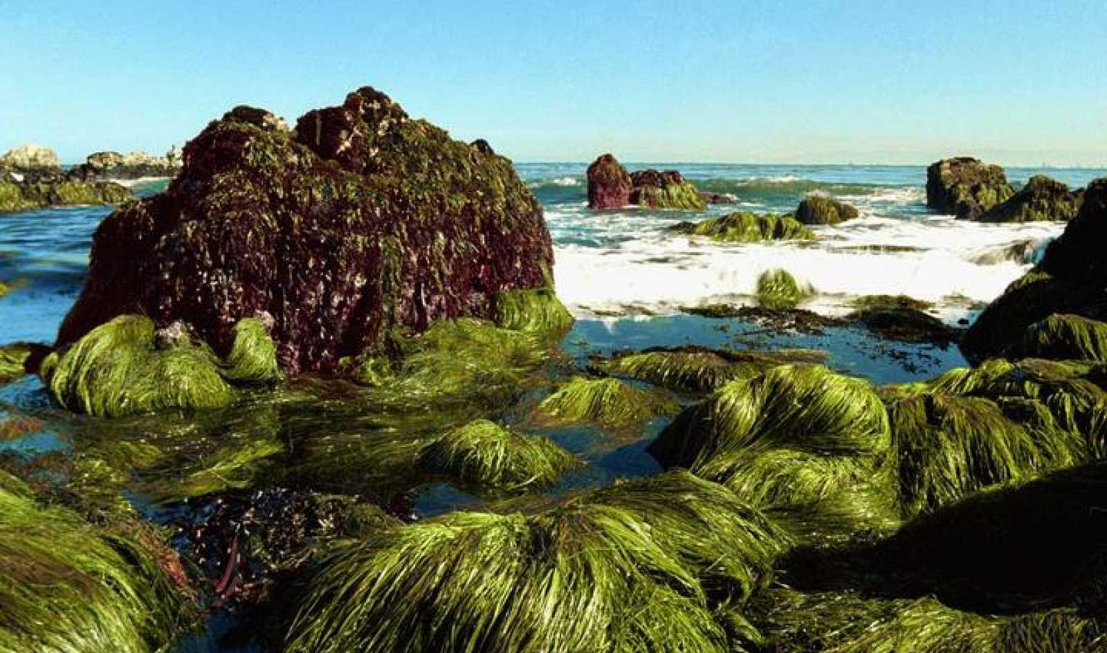 Algas en la costa del Pacífico, en California.