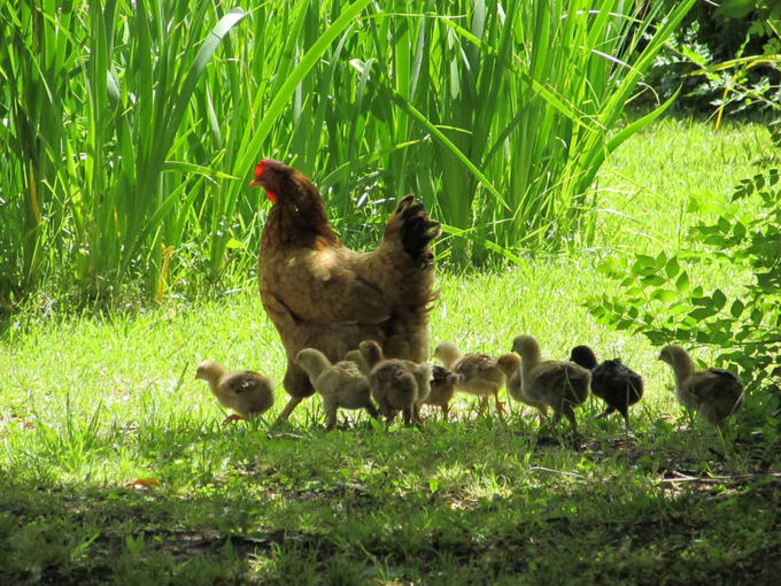 La mayoría de las gallinas de uso industrial son de la raza New Hampshire o Leghom