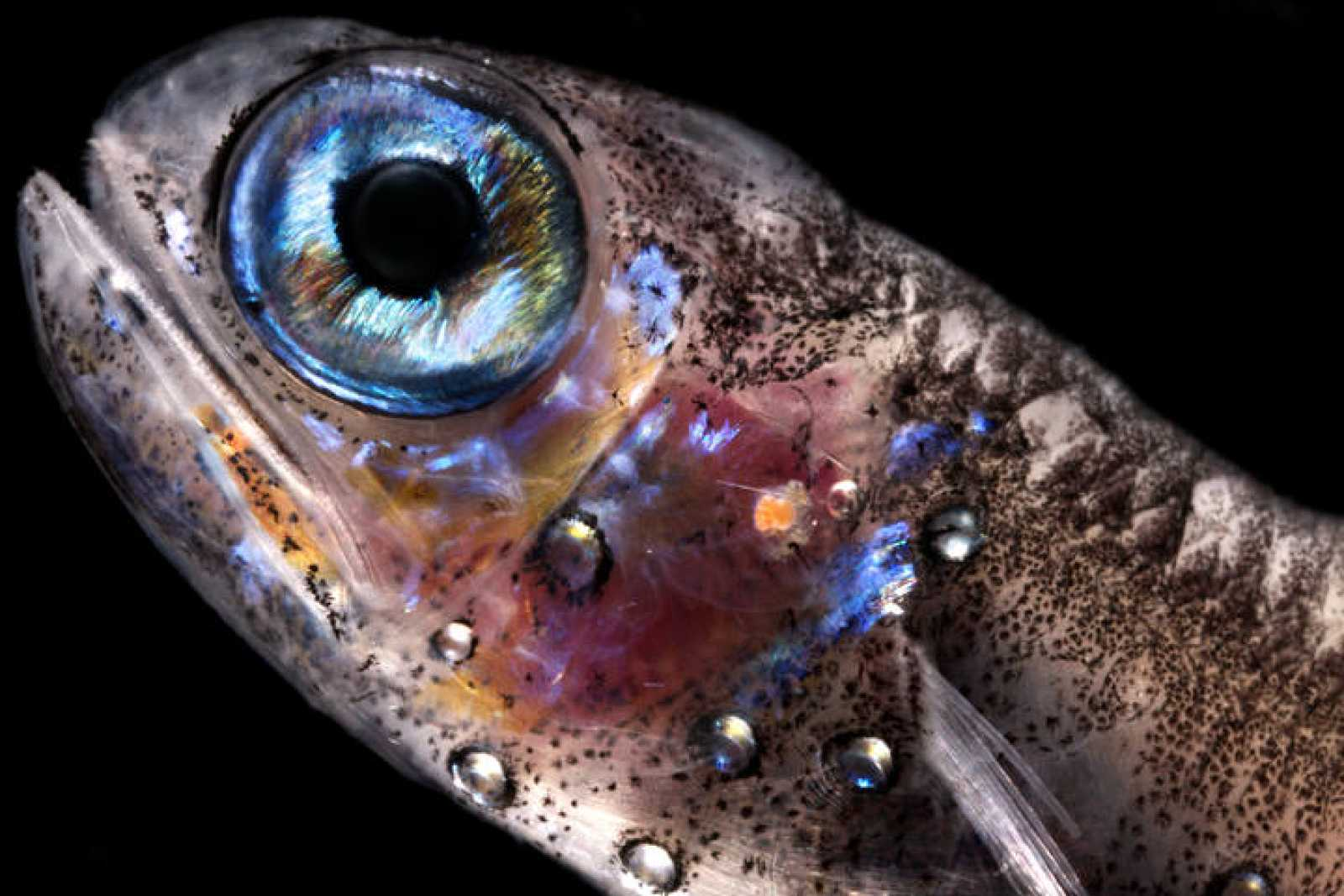 Uno de los peces mesopelágicos capturados la expedición Malaspina.