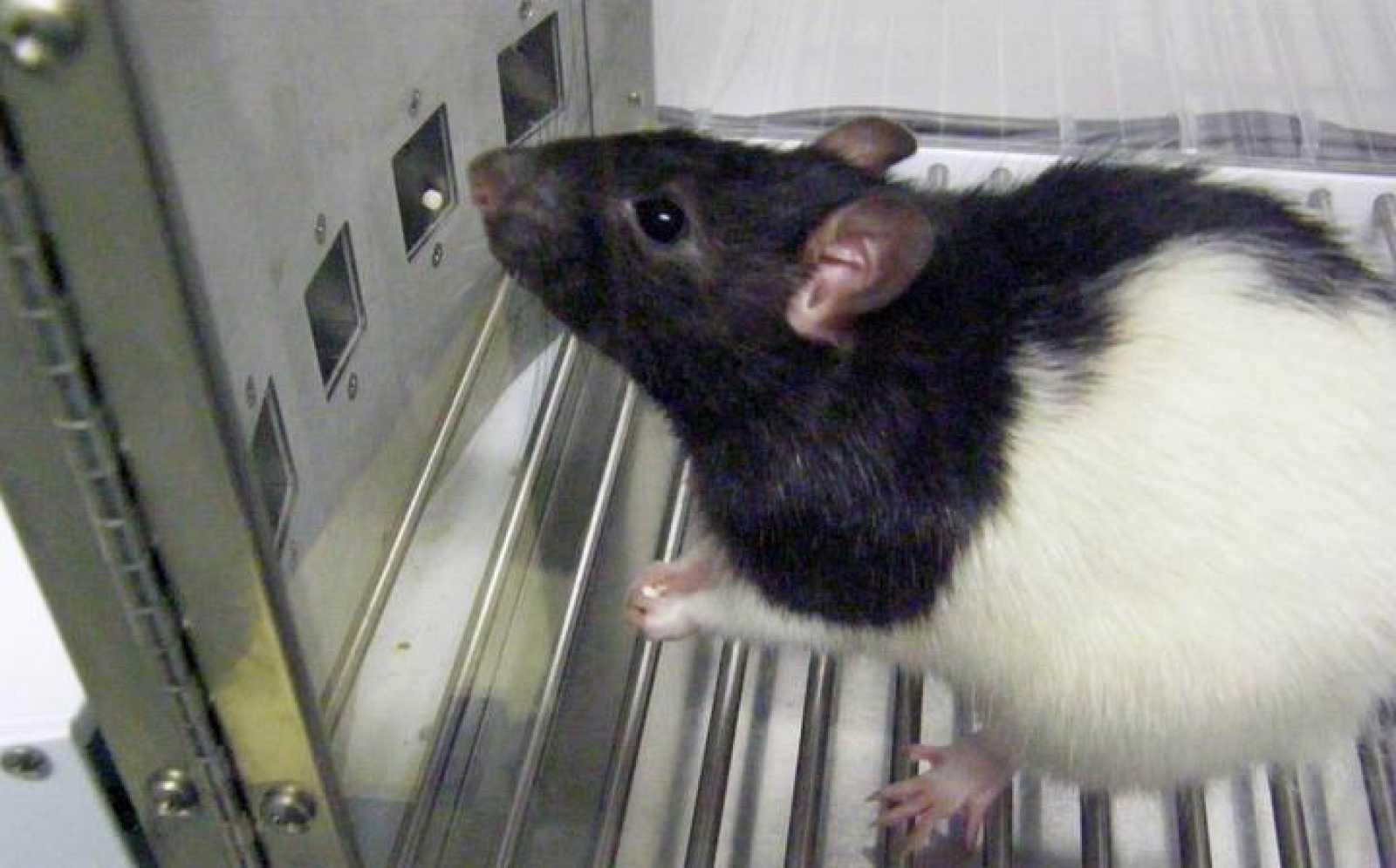 Una de las ratas empleadas en el estudio del Instituto de Neurociencias de la UAB.