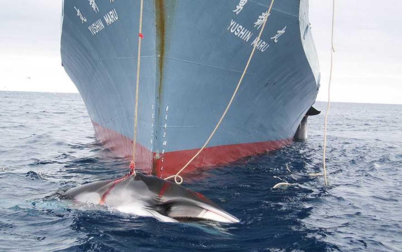 La Haya ha revocado los permisos de Japón para cazar ballenas en La Antártida.