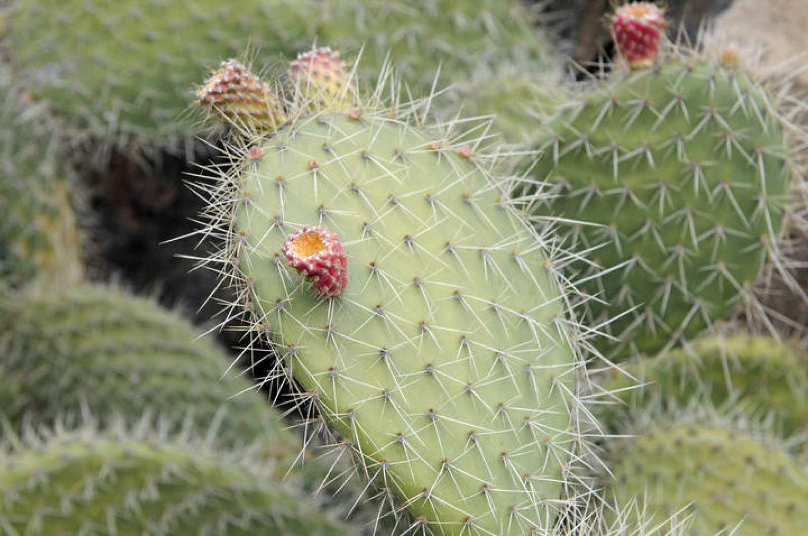 Las espinas ayudan al cactus a aguantar temperaturas de hasta 60ºC