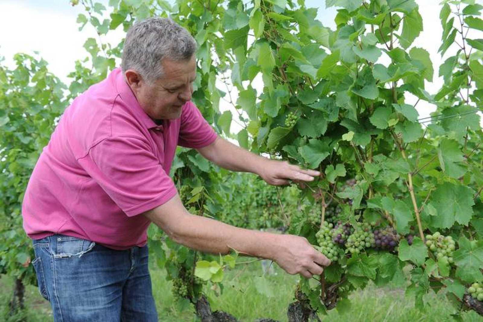 Agricultor francés revisa su cosecha de uva a pocos días de empezar la vendimia