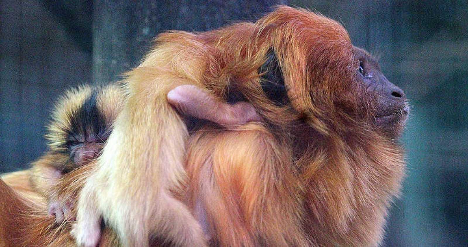 Los gemelos neonatos en Cantabria de la especie Tamarino León Dorado
