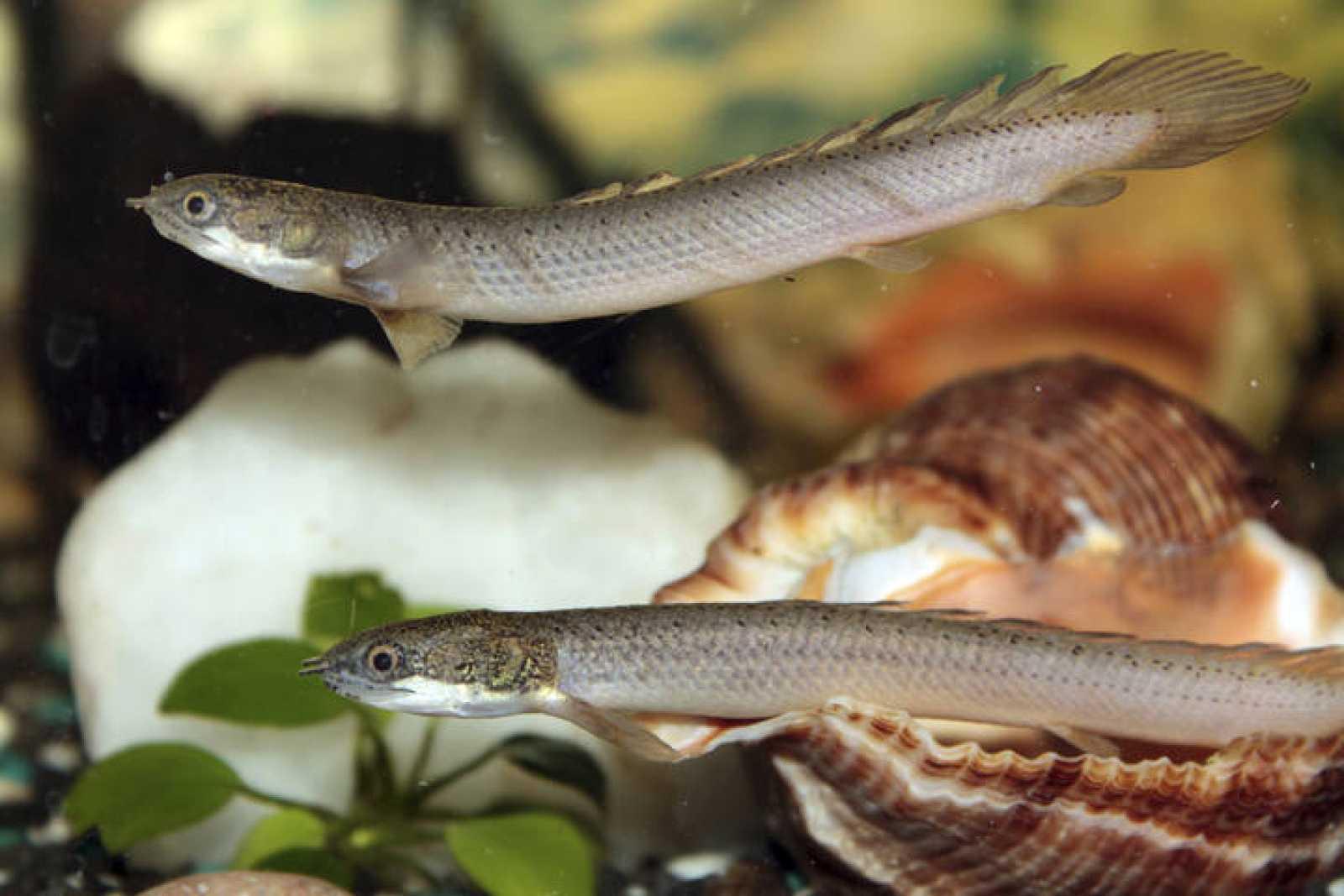 Dos ejemplares del bichir de Senegal, un pez 'andador'