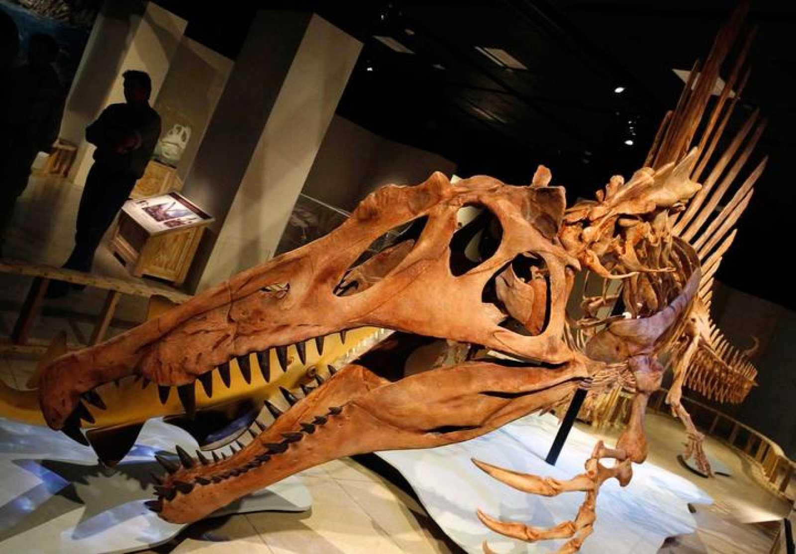 Modelo de esqueleto a tamaño real del Spinosaurus aegyptiacus, el mayor predador del Cretácico que sabía nadar.